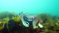 Australian giant cuttlefish males posturing to make themselves appear bigger than they are to each other. One of them is most likely protect a female while she tries to lay eggs, Whyalla, South Australia.