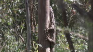 Australian Lace Monitor climbs up tree trunk.