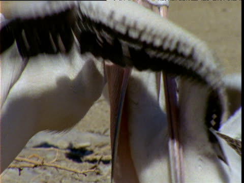 Australian pelican regurgitates food to greedy chick, Lake Eyre, South Australia