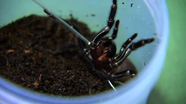 Australians are being asked to catch the world's deadliest spider the Funnel Web as stocks of its venom are running low The venom's used to treat...