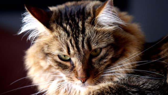 Austrian Forest Cat