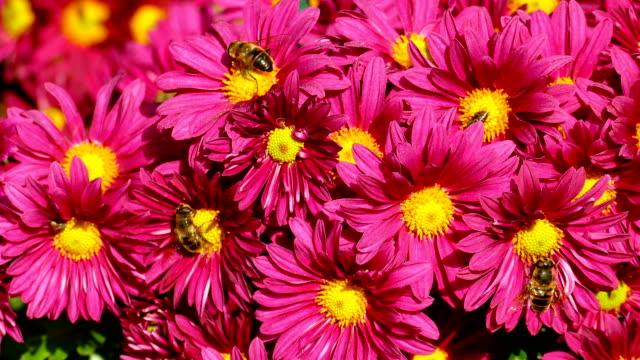 autumn background - chrysanthemum flowers