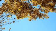 Herfstbladeren tegen heldere blauwe hemel