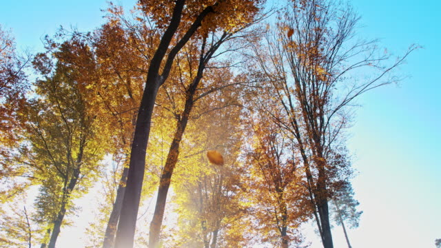 SLO MO Autumn leaves falling off trees