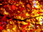 Autumn leaves falling (seamless loop) (NTSC)