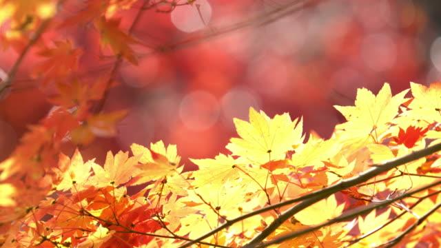 Herbst-rot verlassen bei Obara Park Toyota Nagoya Japan, Apple ProRes 422 (HQ)-3840 x 2160-Format