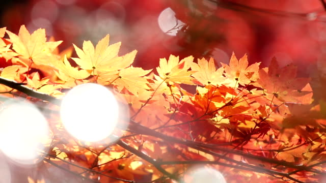 Autumn Red Leave Obara Toyota Nagoya Japan