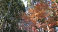 Autumn/winter tree forest in mountain, Chichibu