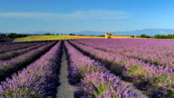 avender flower fields of the Valensole in France 01