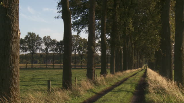 MS Avenue of trees at sunset / Maldegem, Flandres, Belgium