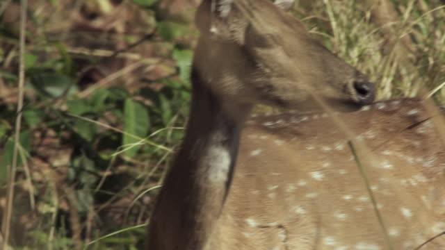 CU TU PAN Axis deer (Axis axis) fawn in tall grass / Madhya Pradesh, India