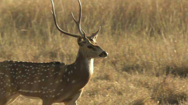 MS PAN Axis deer (Axis axis) in grassy field / Madhya Pradesh, India