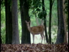 Axis deer stands on dead leaves staring at camera then abruptly turns and runs away into forest, Kanha National Park, Madyha Pradesh