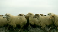 Azerbaijan Sheep