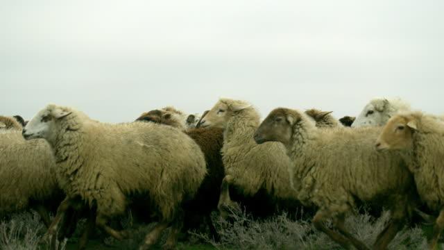 Azerbaijan Sheep