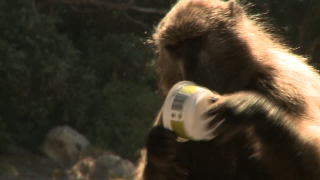 A baboon cleans out a container of avocado dip. Available in HD.