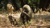 Baboon (Papio sp.) female and cub eating seeds, Lake Manyara, Tanzania