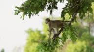 MS Baboon jumping from tree / Lukuzi, Eastern, Zambia