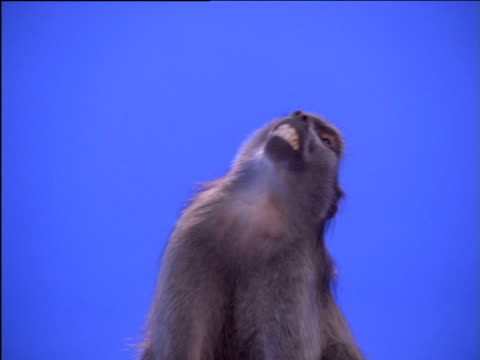 Baboon leans over defensively