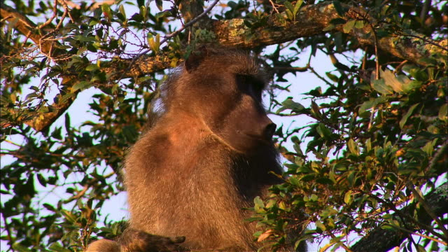 Baboon sitting in tree and looking around / scratching its nose