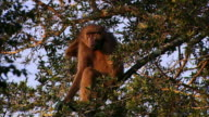 Baboon sitting in tree / scratching its back