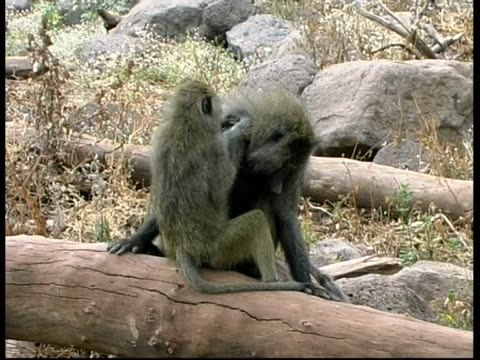 MS Baboon sitting on log grooming male baboon, turn and looks to camera, Maniara lake, Tanzania