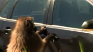 A baboon tries to open a car door. Available in HD.