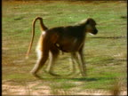 PAN baboon with baby clinging to stomach walking on grass / Africa