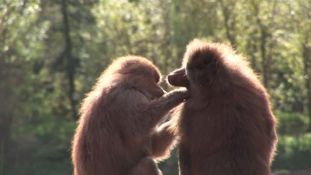 Baboons Grooming eachother - HD & PAL