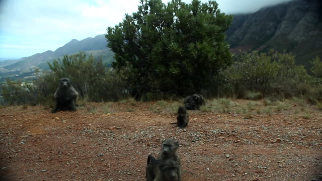 Baboons in the mountains in South Africa 3