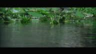 WS TU Baby Alligator resting on riverbank