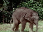 Baby Asian elephant walking clearing to two wet baby Orangutans holding each other they 'roll away' from elephant toward trees
