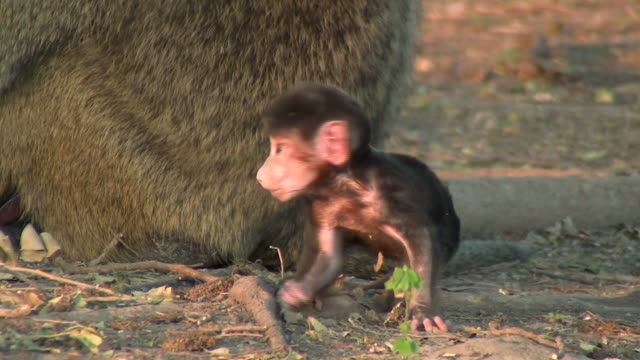 baby baboon_Pavian_Baby5
