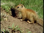 Baby Belding's ground squirrel runs into hole, Montana