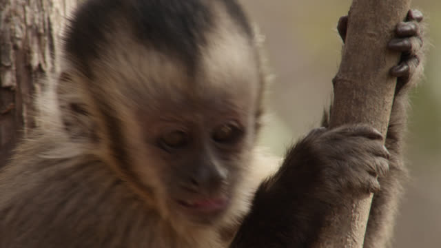 Baby brown capuchin (Sapajus apella) calls in tree.