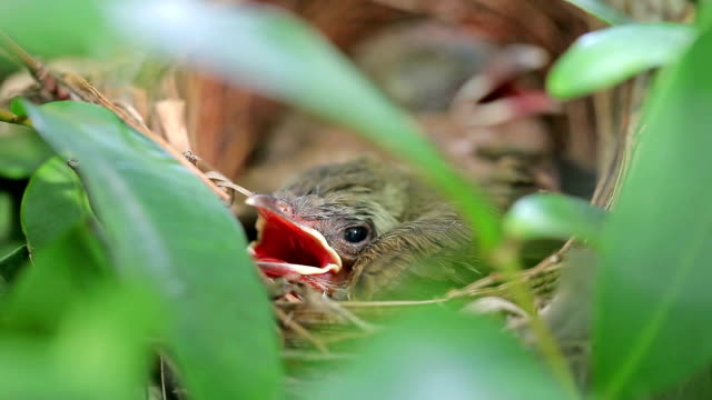 Baby Brown Prinia bird in nest
