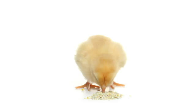 HD baby chick eating pecking isolated on white