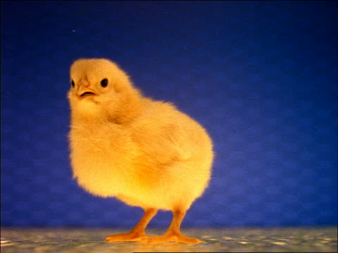 Baby chick talking then turning + walking away from camera