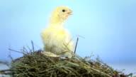 HD: Baby Hühner im Nest