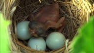 Baby cuckoo bird inside the Paradoxornis webbianus nest at Odaesan Mountain