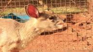 MS Baby deer chewing / Campo Grande, Mato Grosso do Sul, Brazil