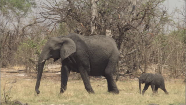 A baby elephant follows its mother. Available in HD.