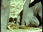Baby elephant rubs head into dung while feeding on it.