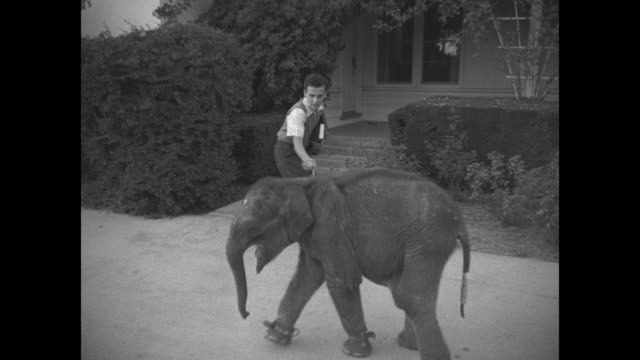 Baby elephant with 'leash' around foot trots past boy on high school campus / he coaxes the animal inside where the elephant is fed milk from metal...