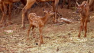 Baby Elk takes first steps away from its mother