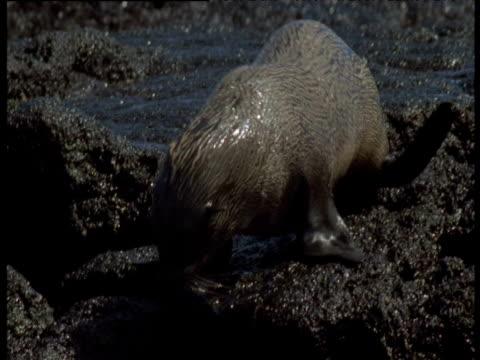 Baby Galapagos sealion dives headfirst into water, Galapagos