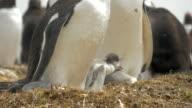 Baby Gentoo Penguin in Nest in Falkland Islands