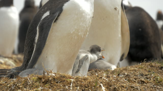 Baby Gentoo Penguin in Nest in Falkland Islands