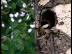 Baby golden eye ducklings leap from high nest hole in tree trunk and bounce on ground, USA
