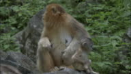 Baby golden snub nosed monkey leaps around near adult, Foping, China